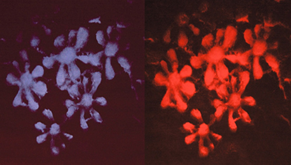 "Print  Cluster Snow Splat Series, Blue and Red, 2006.  Monoprint polymer etching.  21 ½ "" x 21 ½"" each"